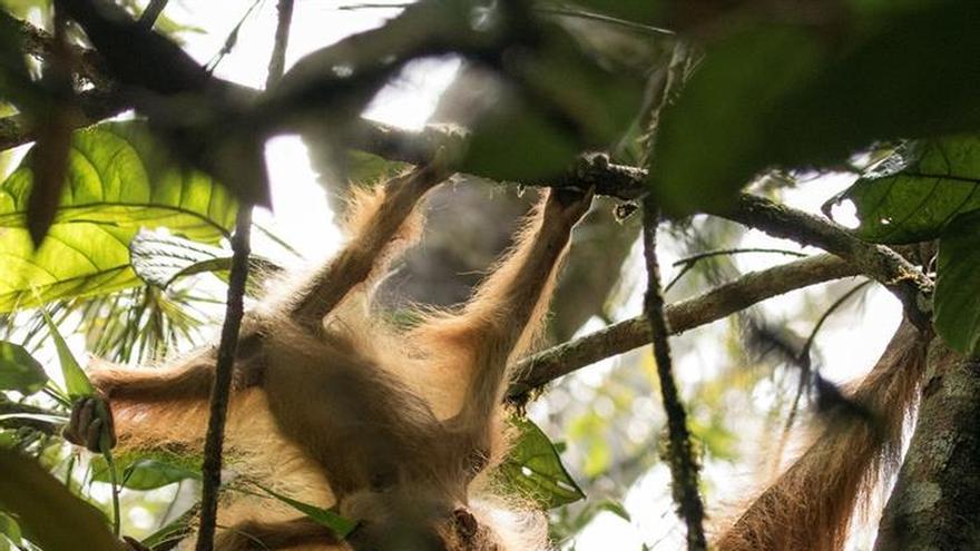 Descubren en Sumatra un nuevo tipo de orangután hasta ahora desconocido