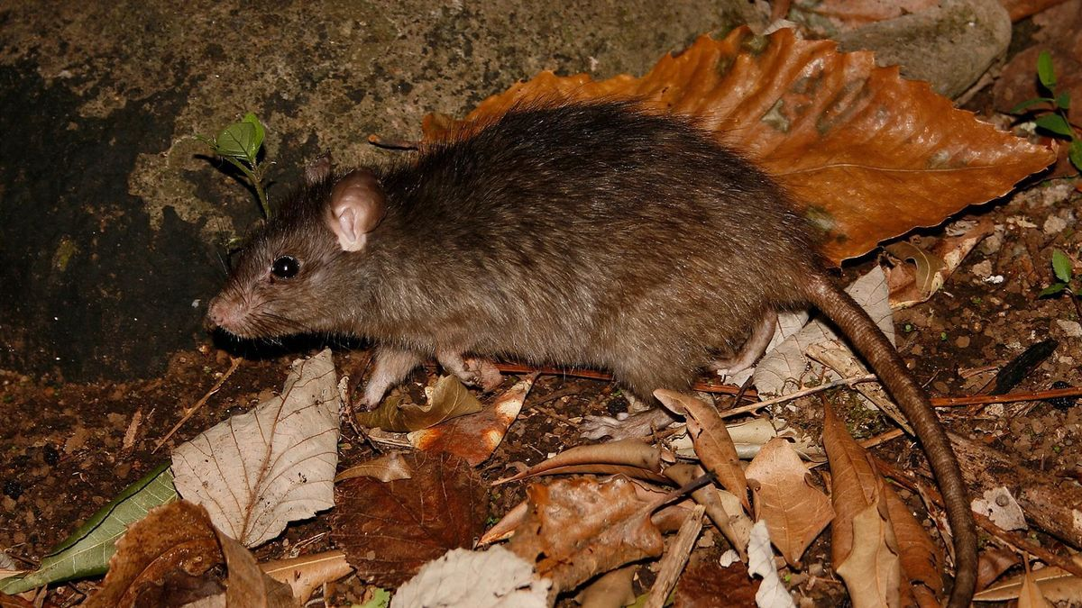 Rata negra (Rattus rattus).