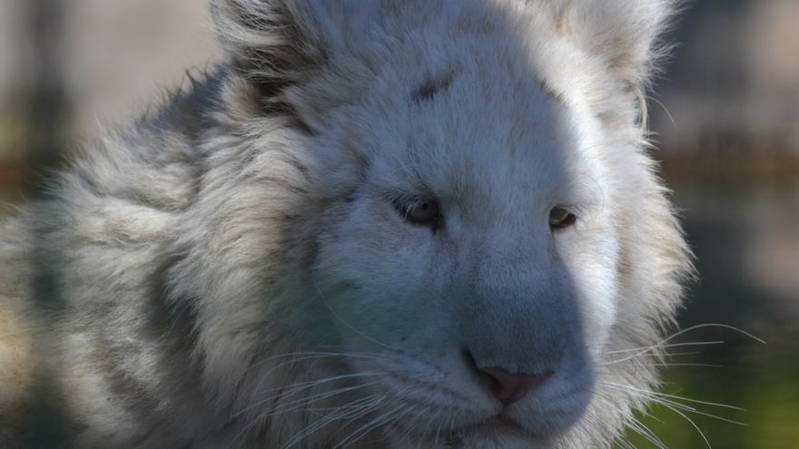 Uno de los cachorros de tigre blanco en Sendaviva.
