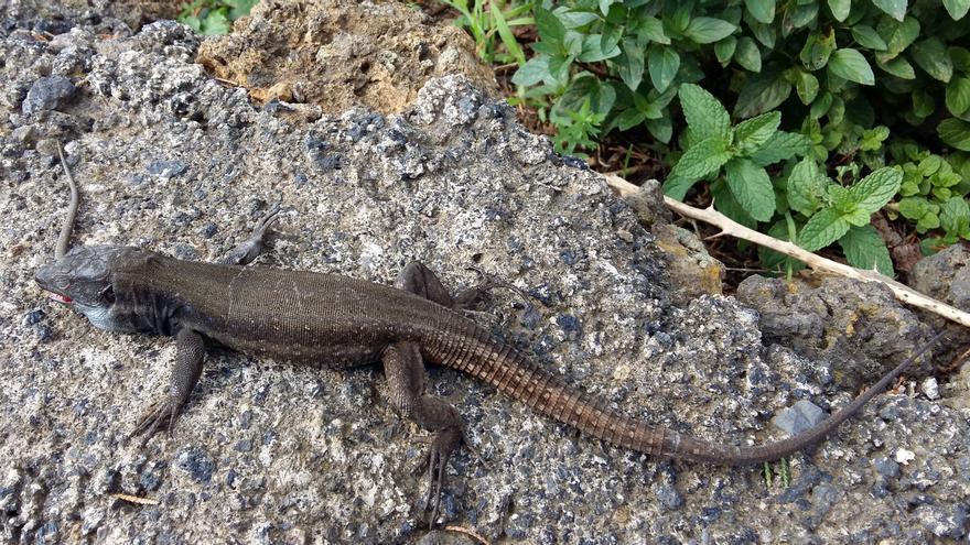 Un 'barbolo' comiendo un ejemplar juvenil de lagarto.