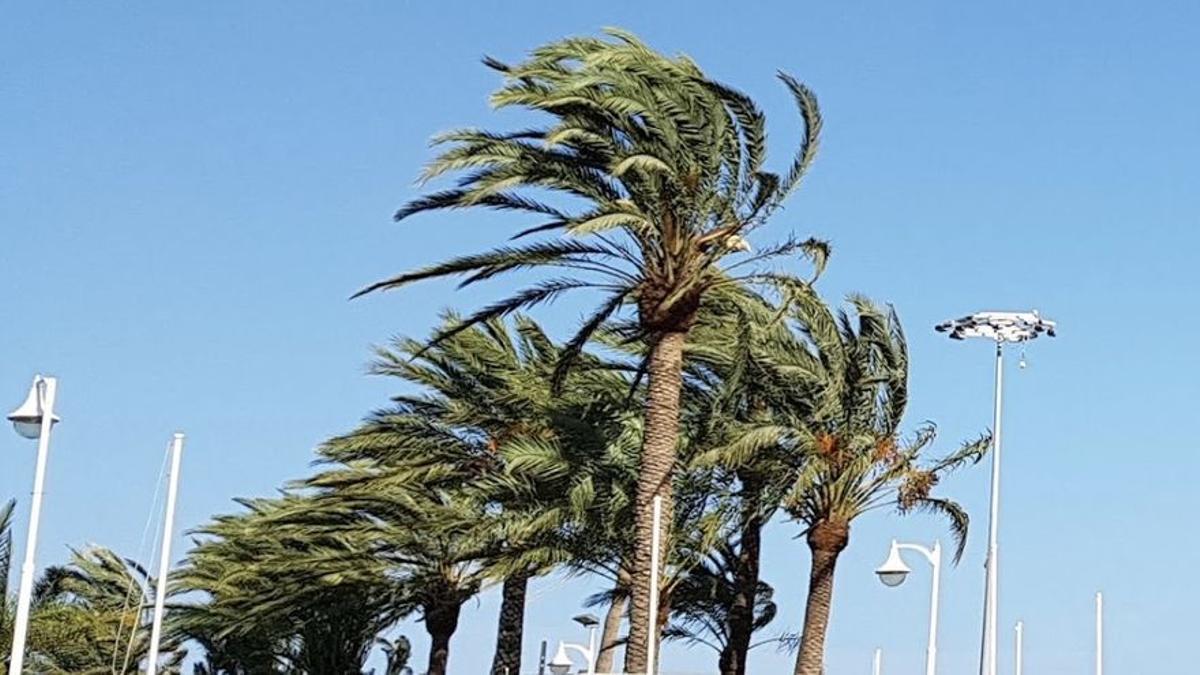 Imagen de archivo de palmeras afectadas por el viento en La Palma