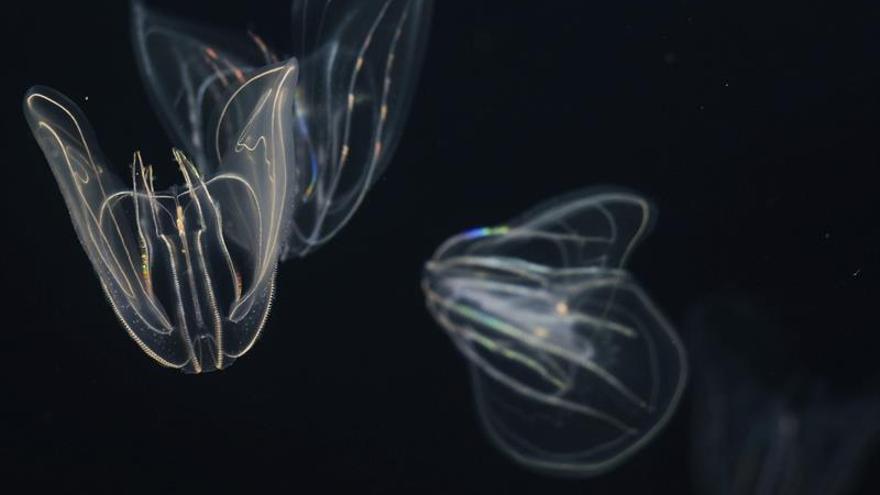 """El zoo de Viena consigue criar """"nueces de mar"""", parecidas a las medusas"""