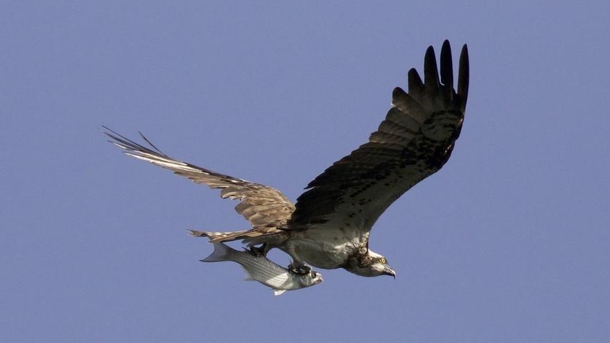 Bizkaia apoya con 34.000 euros el programa de recuperación del águila pescadora