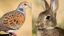Por qué está en declive la tórtola europea y los conejos se han 'domesticado'