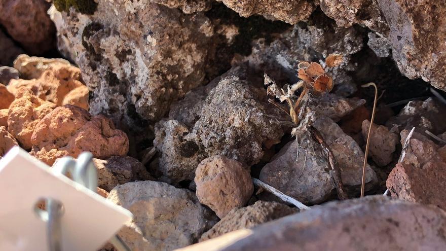 Una de las plantas secas en una de las parcelas experimentales de La Caldera de Taburiente
