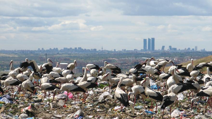 Cigüeñas en el vertedero de Madrid. | Javier de la Fuente SEO/BirdLife
