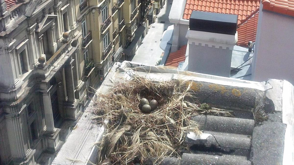 Campaña de control de gaviotas en Santander.