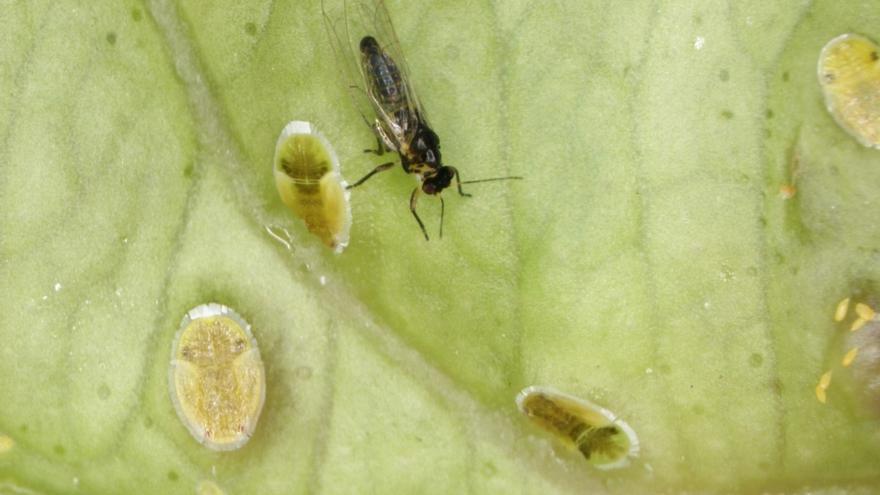 El psílido Trioza erytreae, conocida popularmente como psila africana y que transmite a los cultivos de cítricos el virus del huanglongbing (HBL).