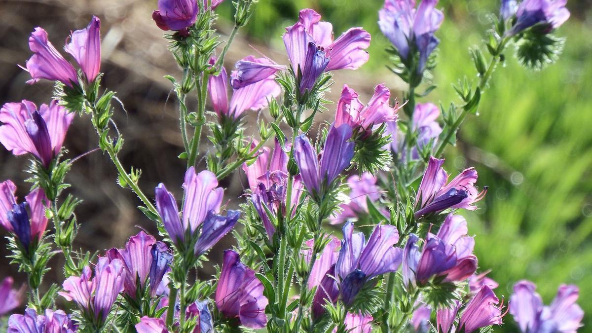 'Echium plantagineum' de flor morada.