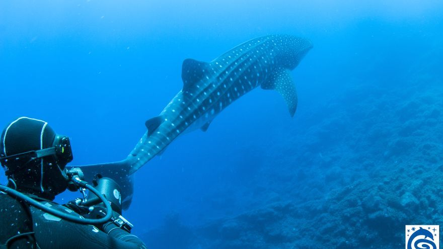 Ejemplar de tiburón ballena avistado en La Palma
