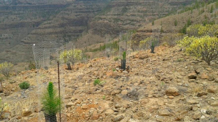 Pinos canarios en el Alto del Jabonero