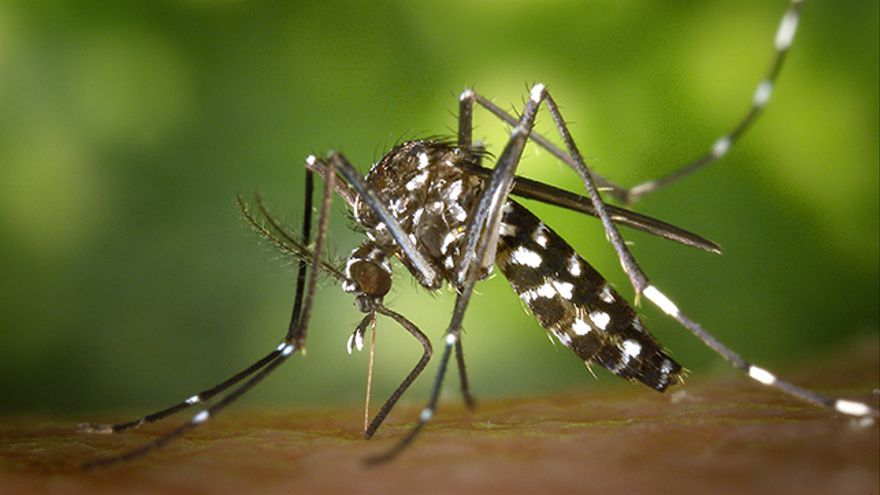 Mosquito Aedes Aegypti: fiebre amarilla, dengue, zyka, chikungunya