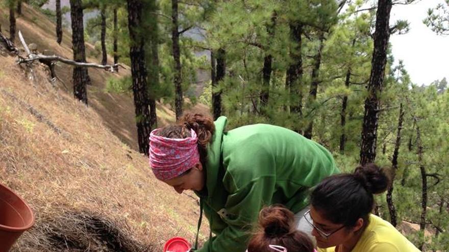 La plantación en La Caldera de los primeros siete ejemplares de la especie Pico de fuego (Lotus pyranthus) se ha llevado a cabo en las cercanías de La Cumbrecita.  Foto: PARQUE NACIONAL LA CALDERA DE TABURIENTE