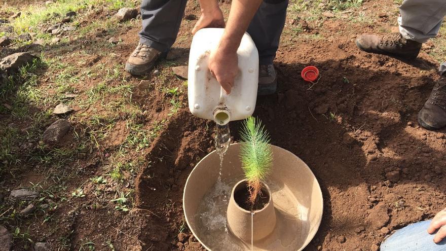 El proyecto Life The Green Link, desarrollado por el Cabildo de Gran Canaria, multiplica por 3 el índice de supervivencia de los árboles plantados