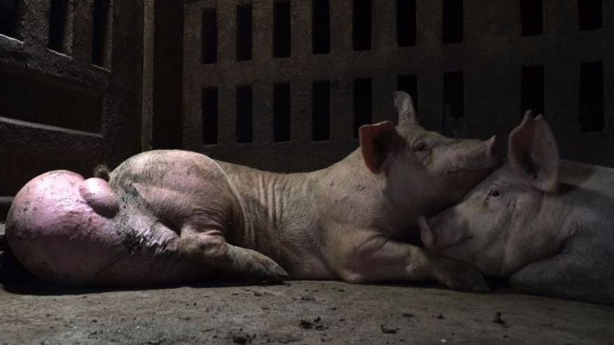 Cerdos en la granja 'Hermanos Carrasco', donde se grabó parte del programa de Salvados y que proveía de carne porcina a El Pozo.
