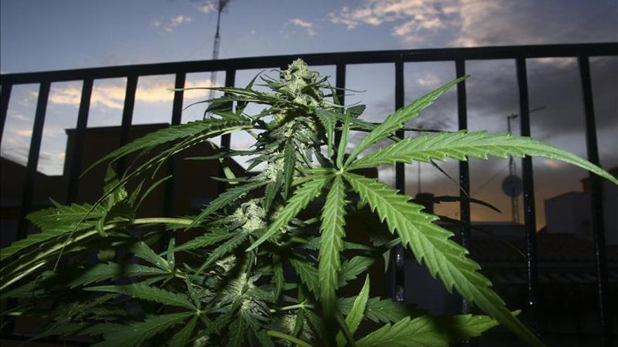 Planta de marihuana en un balcón de Madrid.
