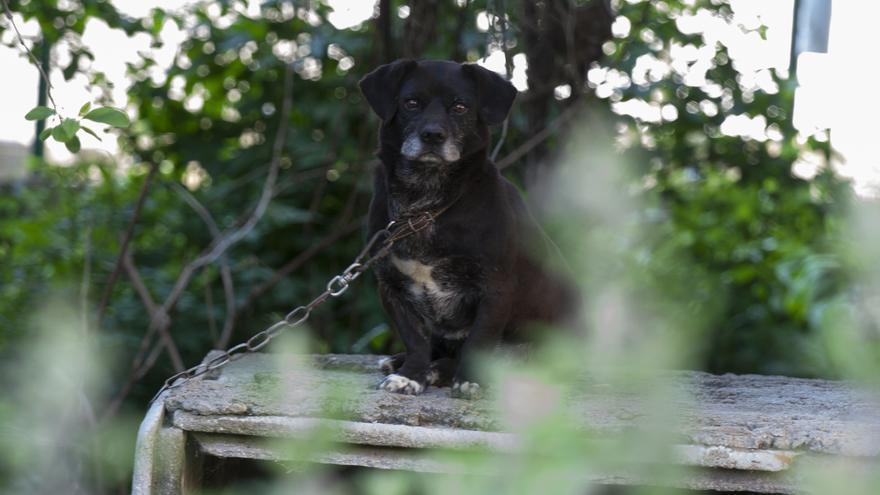 Este pequeño perro vive permanentemente encadenado en Miño (A Coruña). Solo dispone para resguardarse de un hueco de cemento lleno de inmundicias. Foto: David Sanz