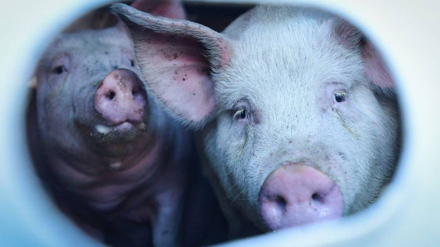 Cerdos conducidos al matadero en el interior del camión. Foto: Toronto Pig Save
