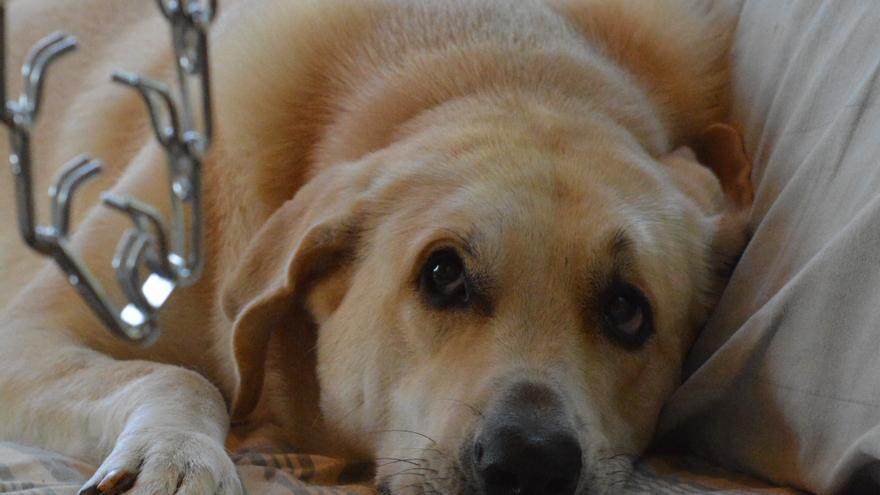 La perra Nube teme que se le ponga un collar dañino.