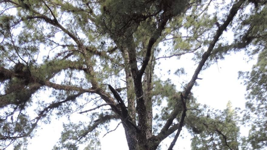 Gigantesco pino de tea, posiblemente sagrado para los benahoaritas, que da nombre al lugar, Fuente del Pino (Barranco del Riachuelo. El Paso), donde fue apresado, merced a una vil traición, Tanausú, capitán del cantón de Aceró (Caldera de Taburiente)