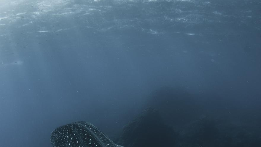 Tiburón ballena avistado en La Palma