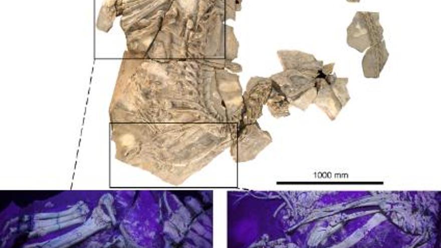 Fotografía del fósil de Concavenator, con dos ampliaciones de las extremidades, obtenidas con luz ultravioleta