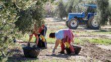 Agricultores recogen la aceituna en la provincia de Jaén.