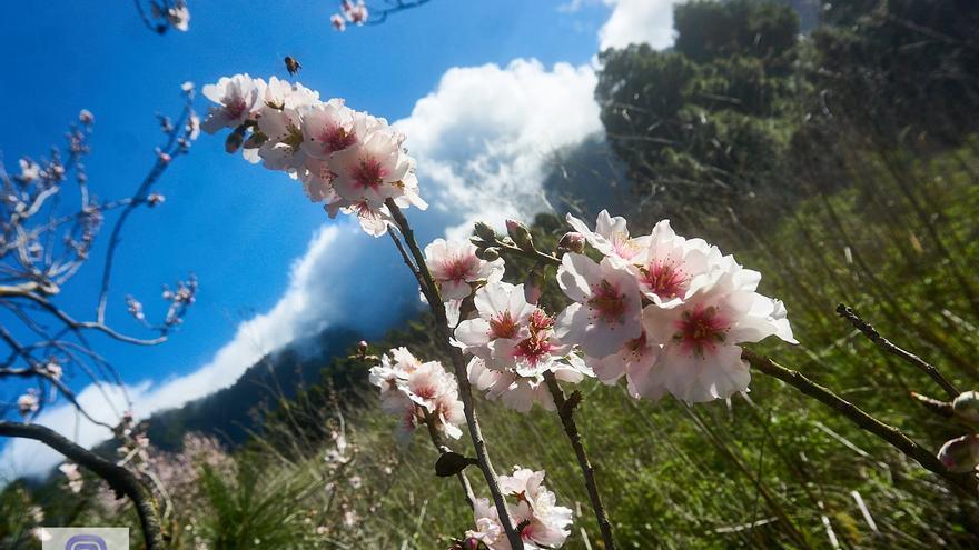 La belleza brota en el campo de La Palma con los almendros en flor. Foto realizada en la mañana de este sábado en los  alrededores de la ermita de la Virgen de El Pino de El Paso.