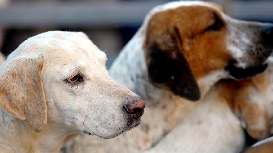 El PP retoma en el Senado la amputación del rabo a perros de caza