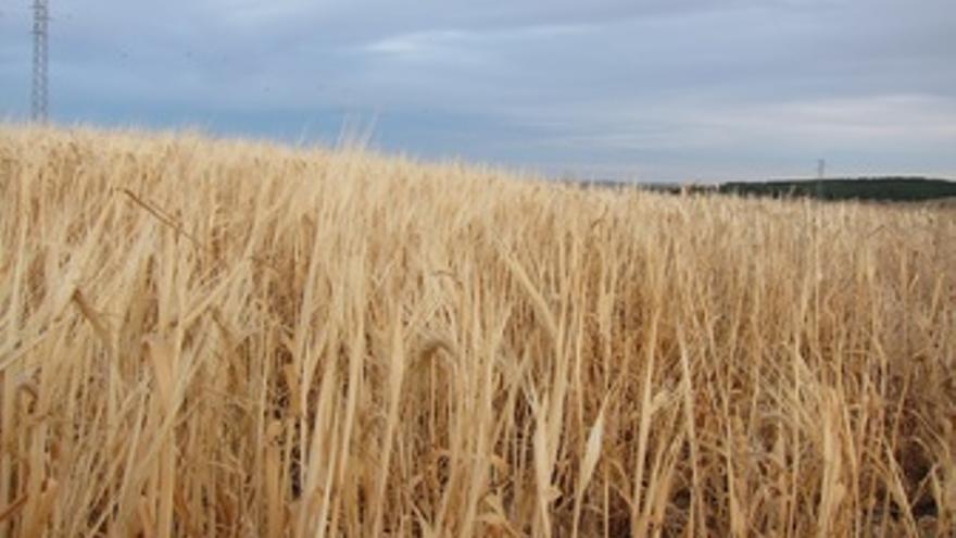 Cereales, Cultivo, Campo