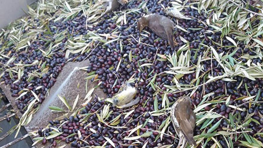 Pájaros muertos mezclados con aceitunas recién cogidas del olivar súper intensivo.