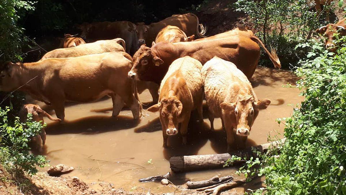 Las vacas en el venero del arroyo Bejarano