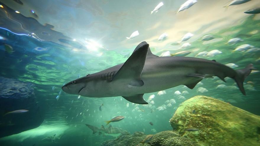 Tiburón en el Aqvuarium de Lanzarote.
