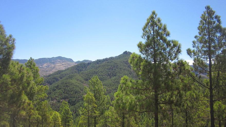 Pinar de Tamadaba. (Hecsuag)