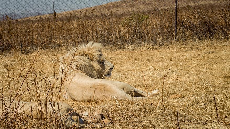 Leones blancos en una de las zonas perimetrales de Rhino & Lion. Foto: colectivobritches.com