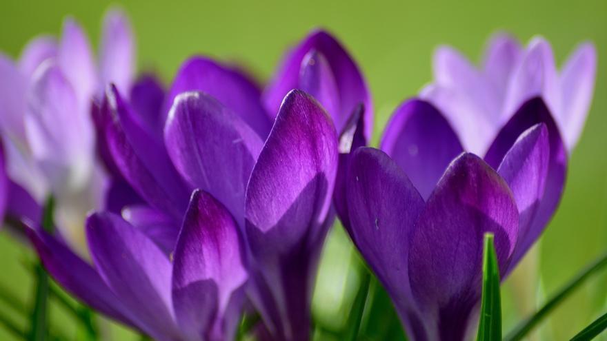 Las violetas con las que Napoleón recordaba a Josefina están presentes en el proyecto de Liu (Imagen: Pixabay)