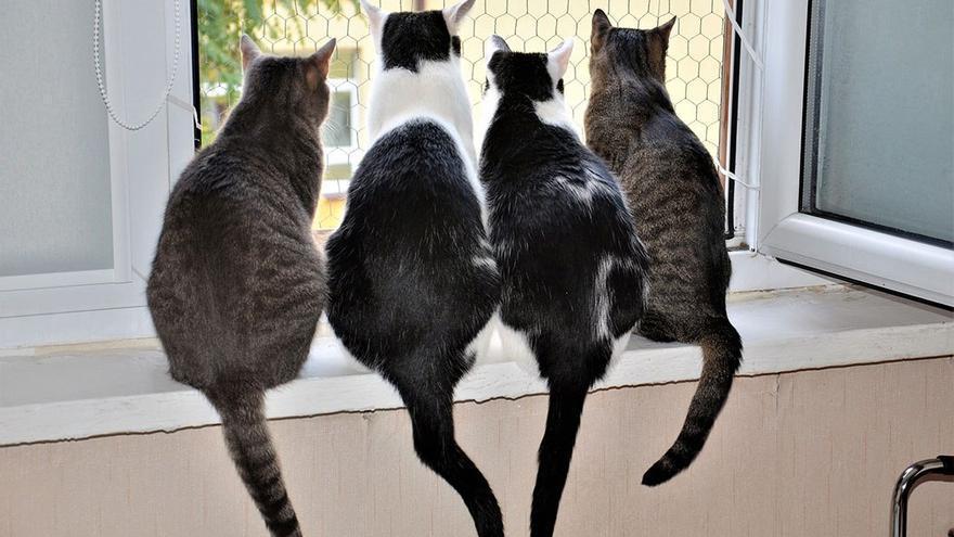 Gatos asomados a una ventana. (DP).