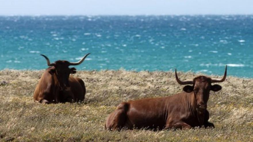 La vaca retinta, en su entorno natural.