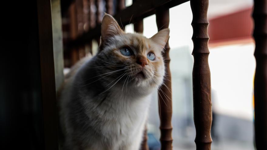 Una gata doméstica observa por la ventana de un domicilio en plena pandemia del coronavirus.