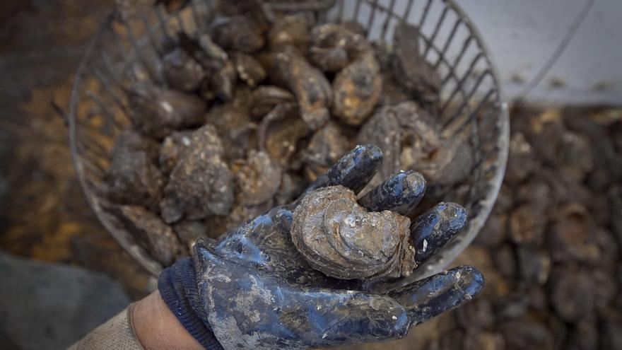 Cuantifican en ostras la toxicidad de billones de colillas que llegan al mar