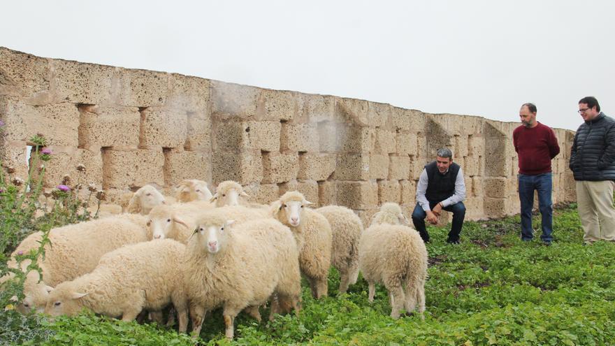 Las ovejas en la Finca El Pico de Tenerife.