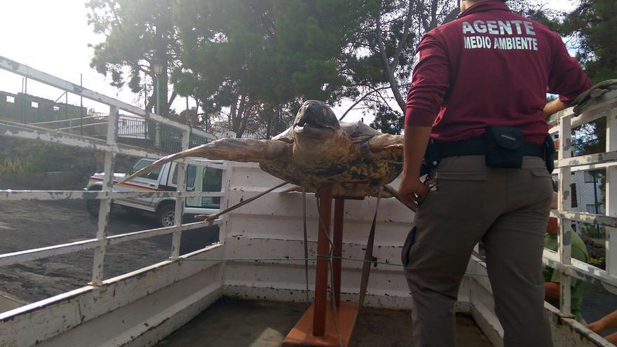 Ejemplar disecado de tortuga laúd incautado por agentes de Medido Ambiente del Cabildo de La Palma.