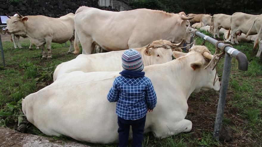 Un niño junto a un ejemplar de ganado vacuno.