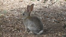 El Gobierno de Castilla-La Mancha prepara una autorización para cazar conejos en plena emergencia sanitaria