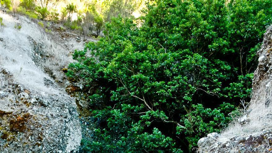 Lugar dónde se encontraba el Garoé, árbol mitico de la historia de El Hierro. VIAJAR AHORA