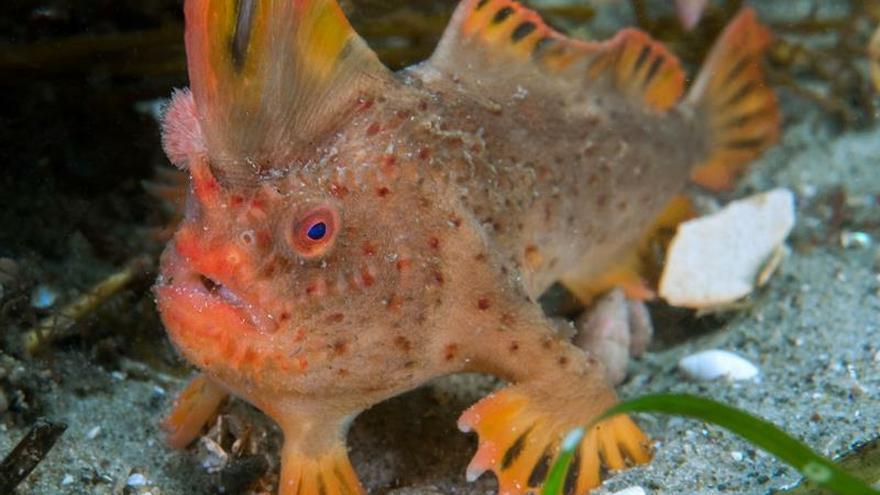 Los apenas cien ejemplares adultos de pez-mano rojo, que habitan en las aguas de la isla australiana de Tasmania, tendrán un perfil personal como parte de una campaña lanzada hoy para salvarlos de la extinción EFE/ARCHIVO/Rick Stuart-Smith SOLO USO EDITORIAL/ NO VENTAS/NO ARCHIVO