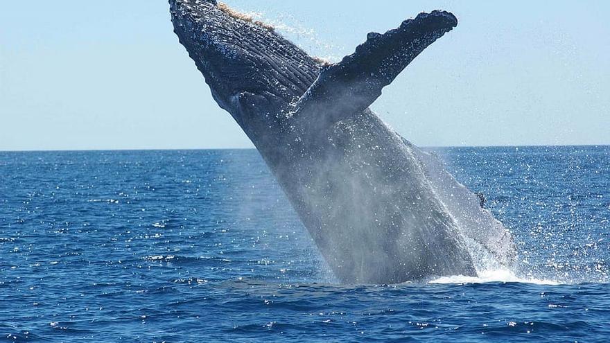 Una ballena emerge en el océano.