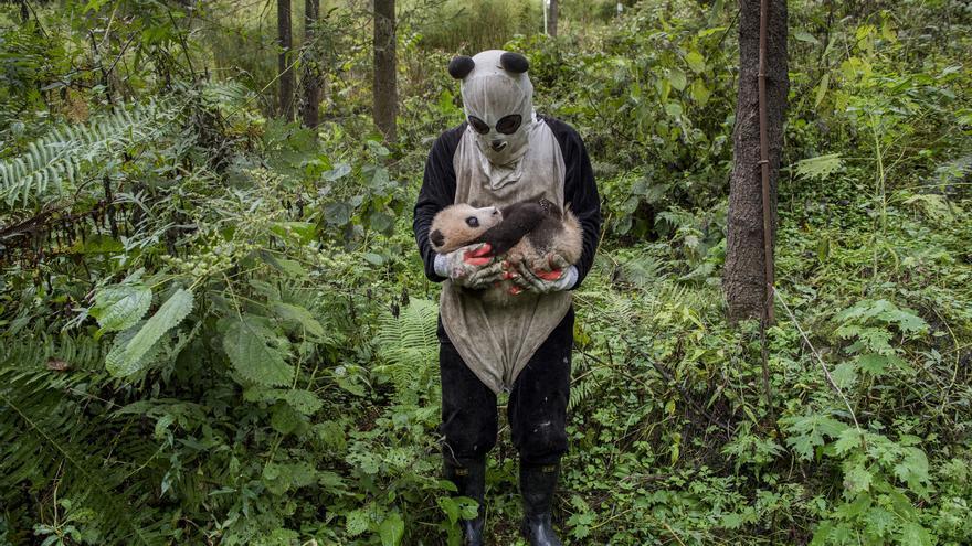 Humano disfrazado de panda, las crías no deben acostumbrarse a nosotros para poder ser liberadas // Ami Vitale