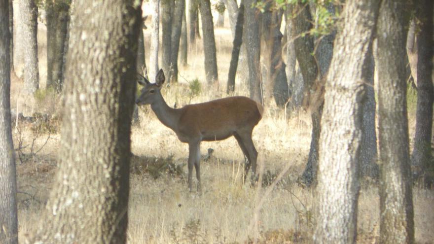 Ciervos hembra en los Montes de Toledo