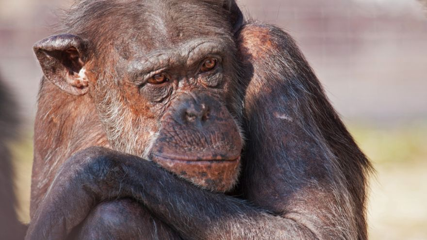 Maxi, chimpancé rescatado después de vivir en un circo, víctima de raquitismo severo. Foto: Rainfer